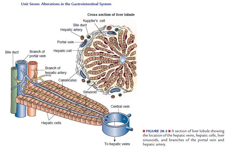 Liver Lobule Cross Section