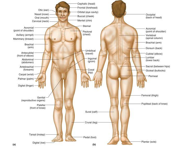 man body parts - 570×530