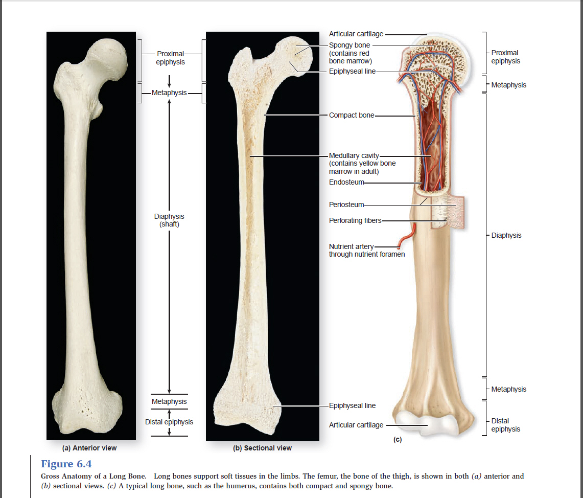 Old Fashioned Gross Anatomy Of Bone Pictures - Human Anatomy Images ...