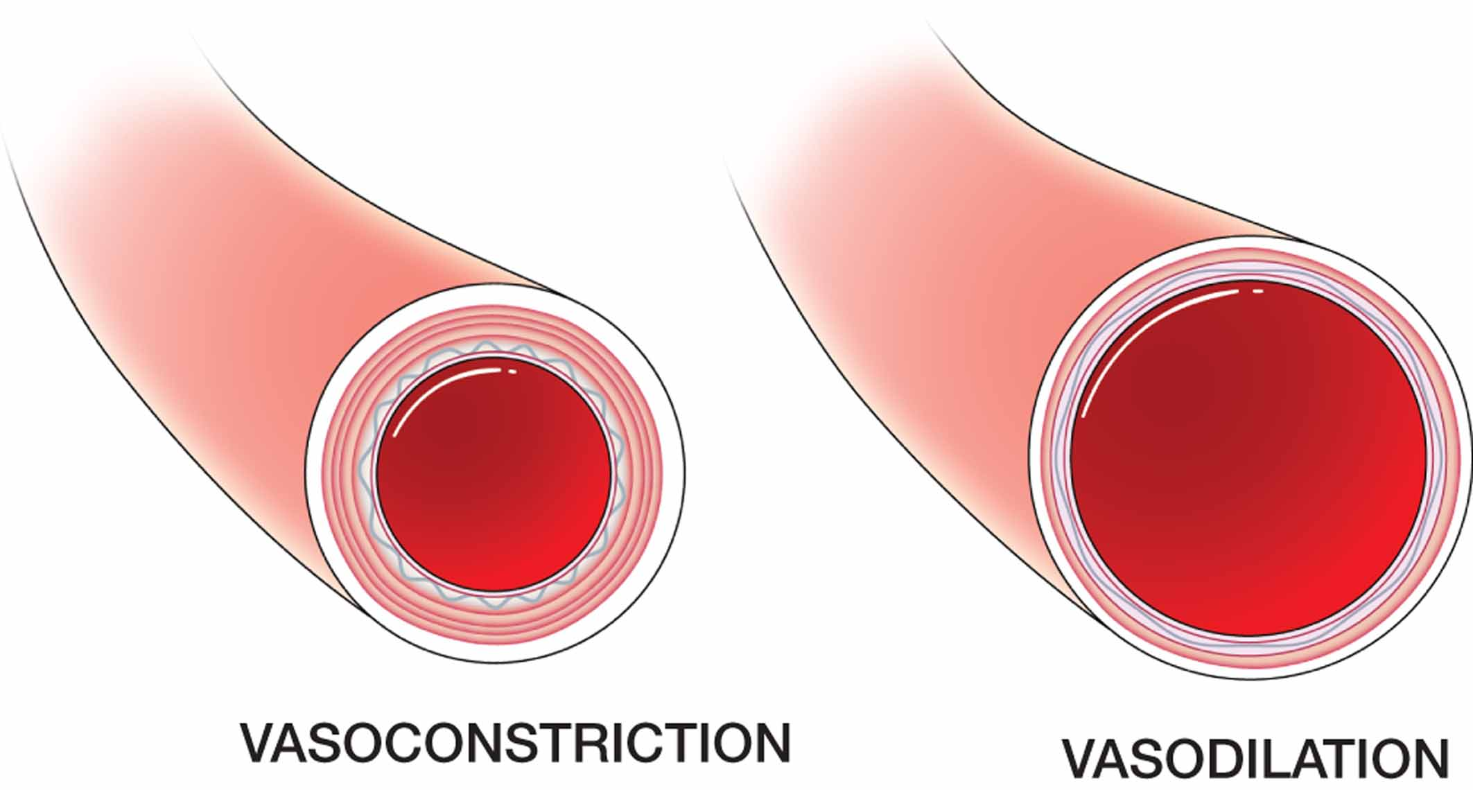 The Free Dictionary >> Vasoconstriction and vasodilation. - Biology Forums Gallery