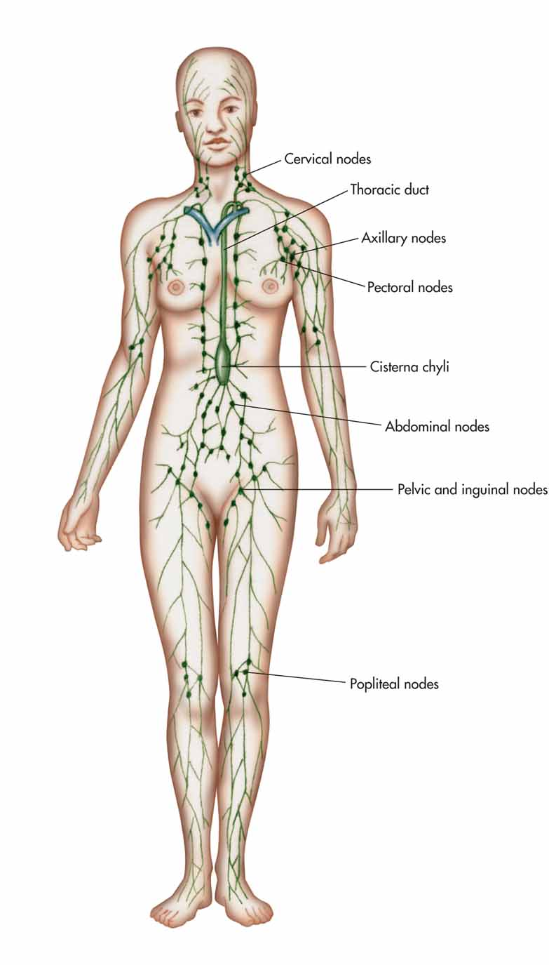 Lymphatic System Unlabeled