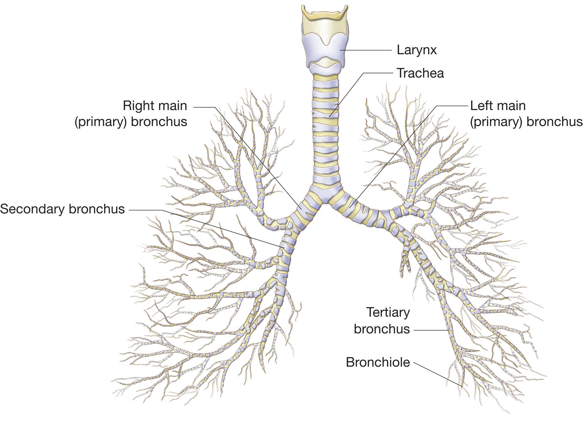 lungs look like a fractal tree inside of us psychonaut : bronchial tree diagram - findchart.co