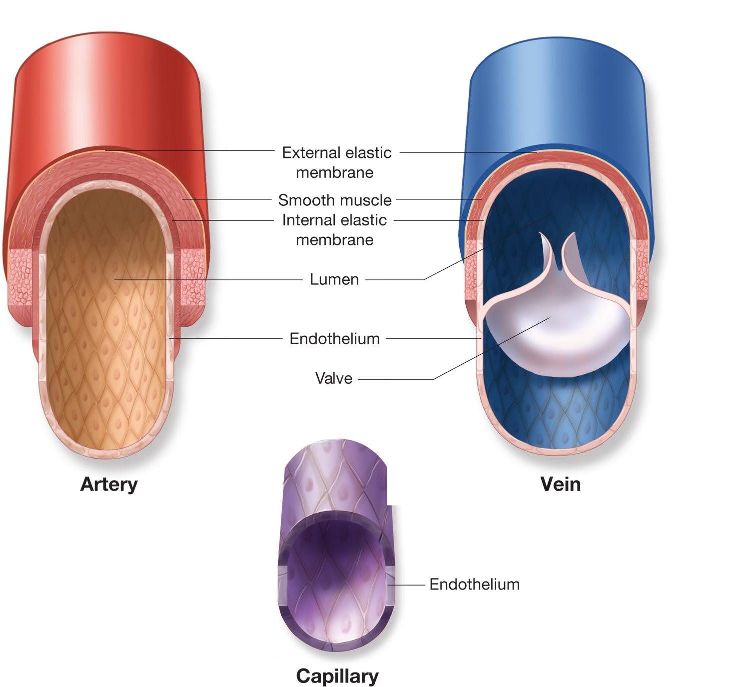 Veins Arteries Capillaries Capillaries And Veins