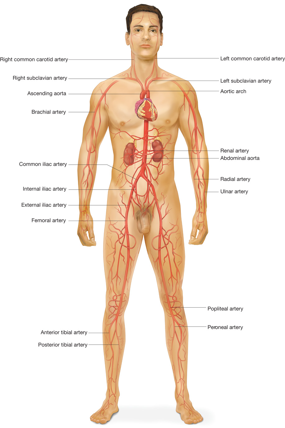 The Major Arteries Of The Body