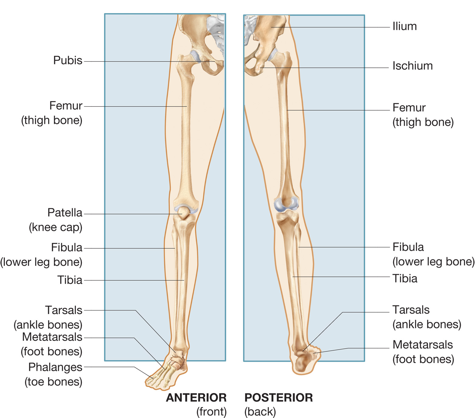 and lower extremity