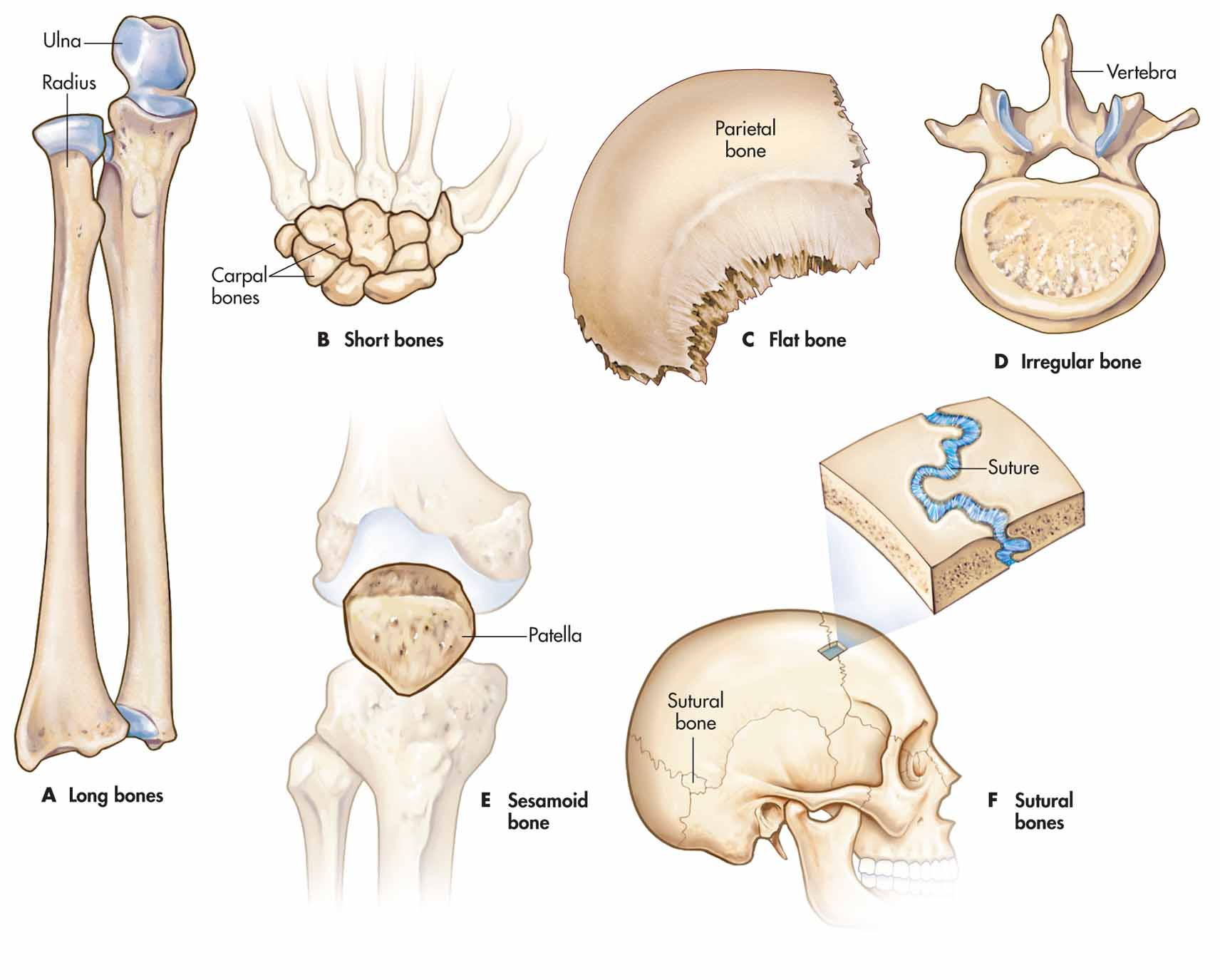 classification of bones It is essential to have a general knowledge of human anatomy to understand how your body functions and how you can take care of it the skeletal system is an important part of anatomy there are more than 200 bones in the human body of these hundreds of bones there are only four different types.