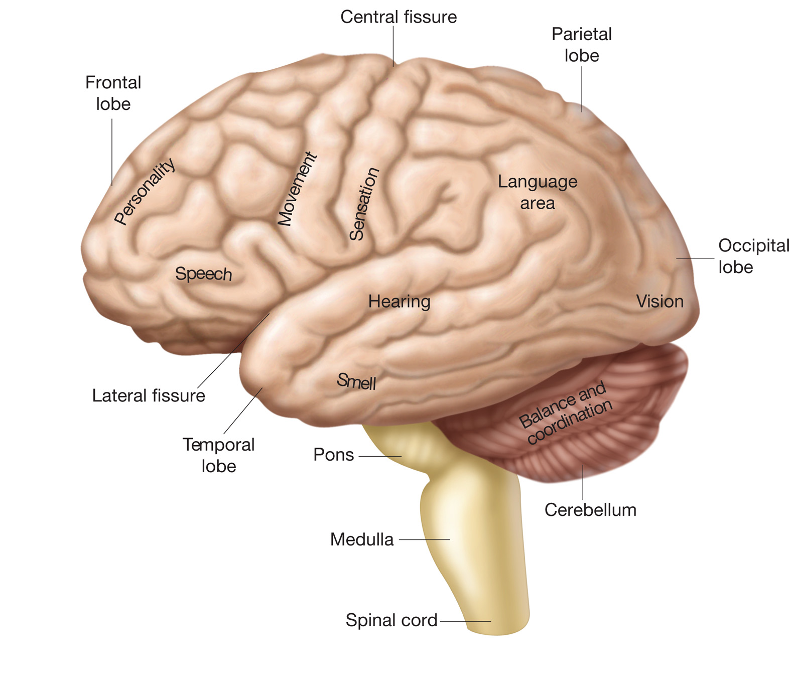 how to remember the difference between cerebrum and cerebellum