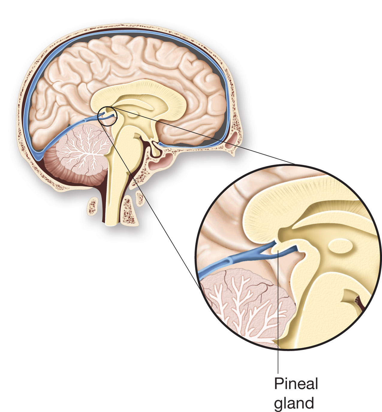 A study of pineal gland | College paper Writing Service zwessayzwdh ...