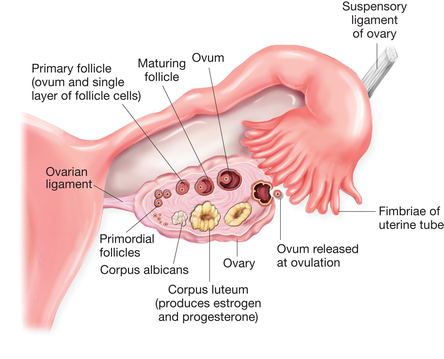 Ovaries and Fallopian Tubes