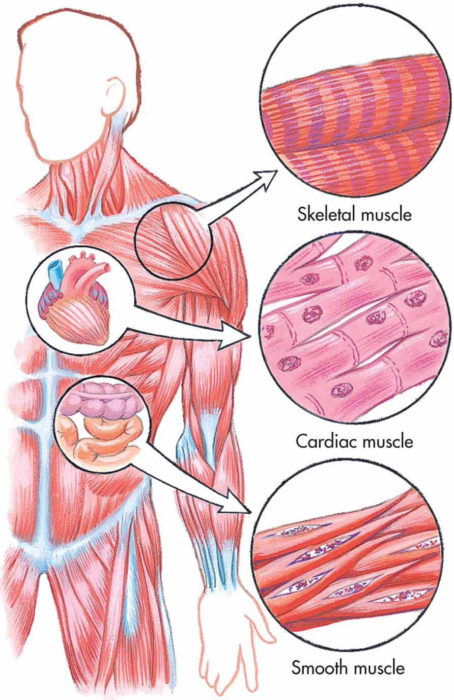 09a muscular system ccuart Image collections