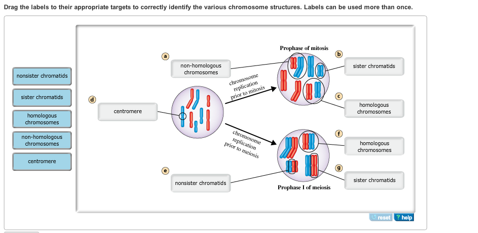 following chromosomal dna movement procedure meiosis i Question experiment 1: following chromosomal dna movement through meiosis 0/msohtmlclip1/01/clip_image001jpgin this experiment, you will model the movement of the chromosomes through meiosis i and ii to create gametes.