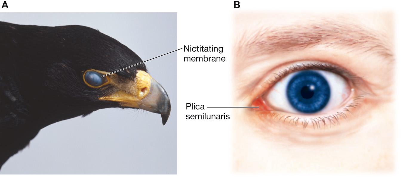 plica semilunaris swollen eye allergies - 1350×608