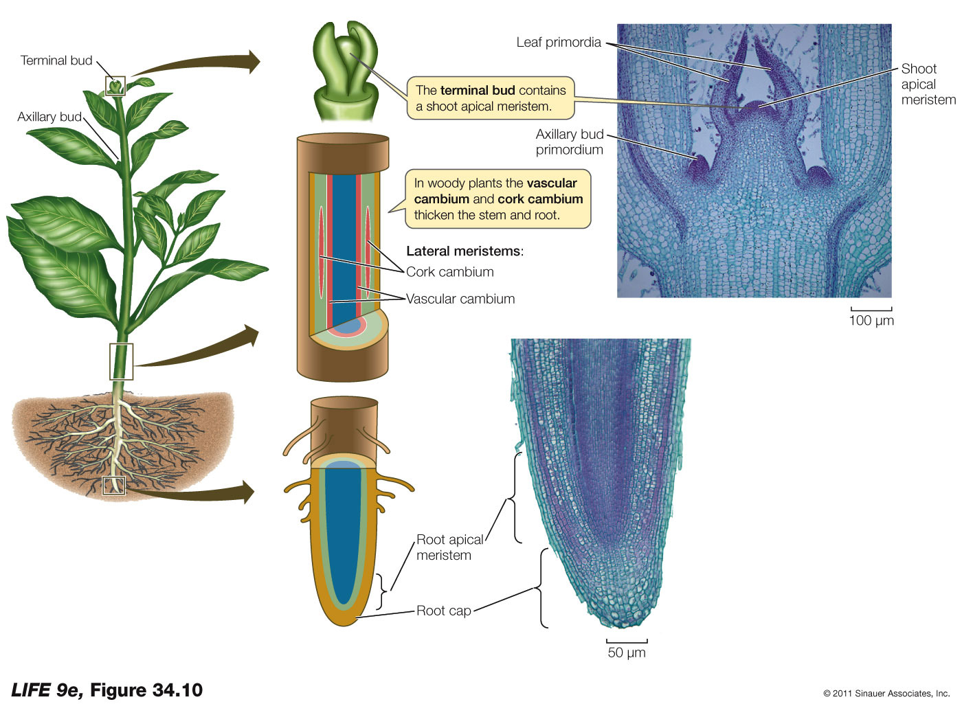 Apical and Lateral Meristems - Biology Forums Gallery