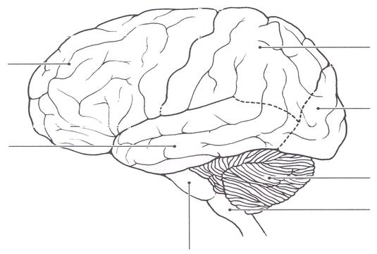 blank brain diagram - Biology Forums Gallery