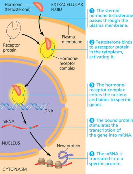 hormone anabolic