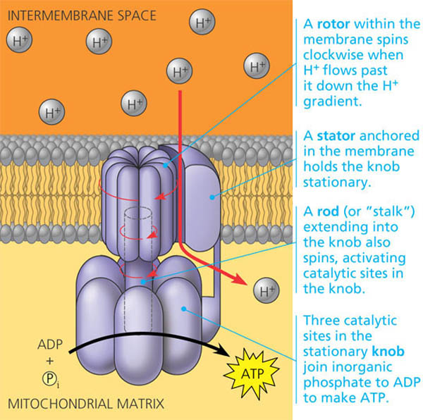 atp synthase Atp synthase is a membrane protein which converts the proton gradient across membrane into energy storing molecule atp, important for biological purposes i have explained what atp synthase is now waht is the structure of atp synthase is as follows there is a rotor trans-membrane part in the protein f_0 which is attached to f_1 through a shaft/stalk there is an anchor protein which connects f.