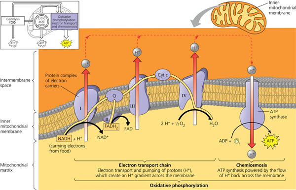 chemiosmosis couples the electron transport chain to atp