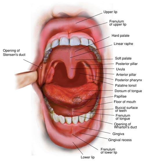 Biology Of The Mouth 69