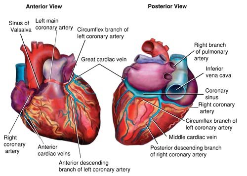 Heart Vein And Artery Diagram Schematics Wiring Diagrams