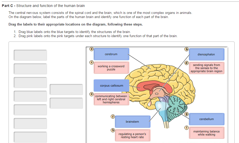Part C - Structure and function of the human brain - Biology Forums ...