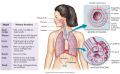 The respiratory system.