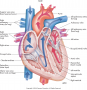 Anatomy of the heart. Remember: It is labeled right and left based on the patient's perspective.