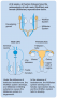The development of the internal ducts of the male and female reproductive systems from the Wolffian ...