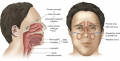 Paranasal sinuses are part of the upper respiratory system. From here, infections may spread via the ...