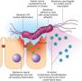 Schematic diagram of virulence factors of Helicobacter pylori.