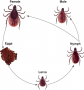 Typical life cycle of the tick family.