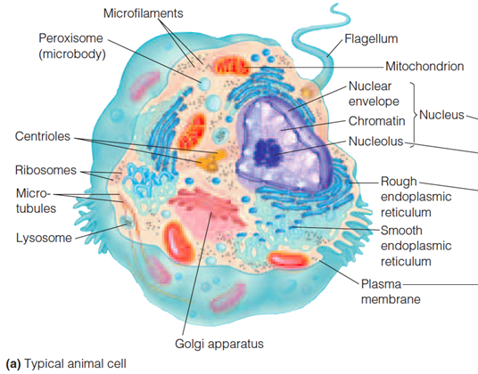 cell anatomy microbodies Microbodies in plant cell are involved in various metabolic reactions these are small, spherical organelles bound by a single membrane and contain specialized enzymes.