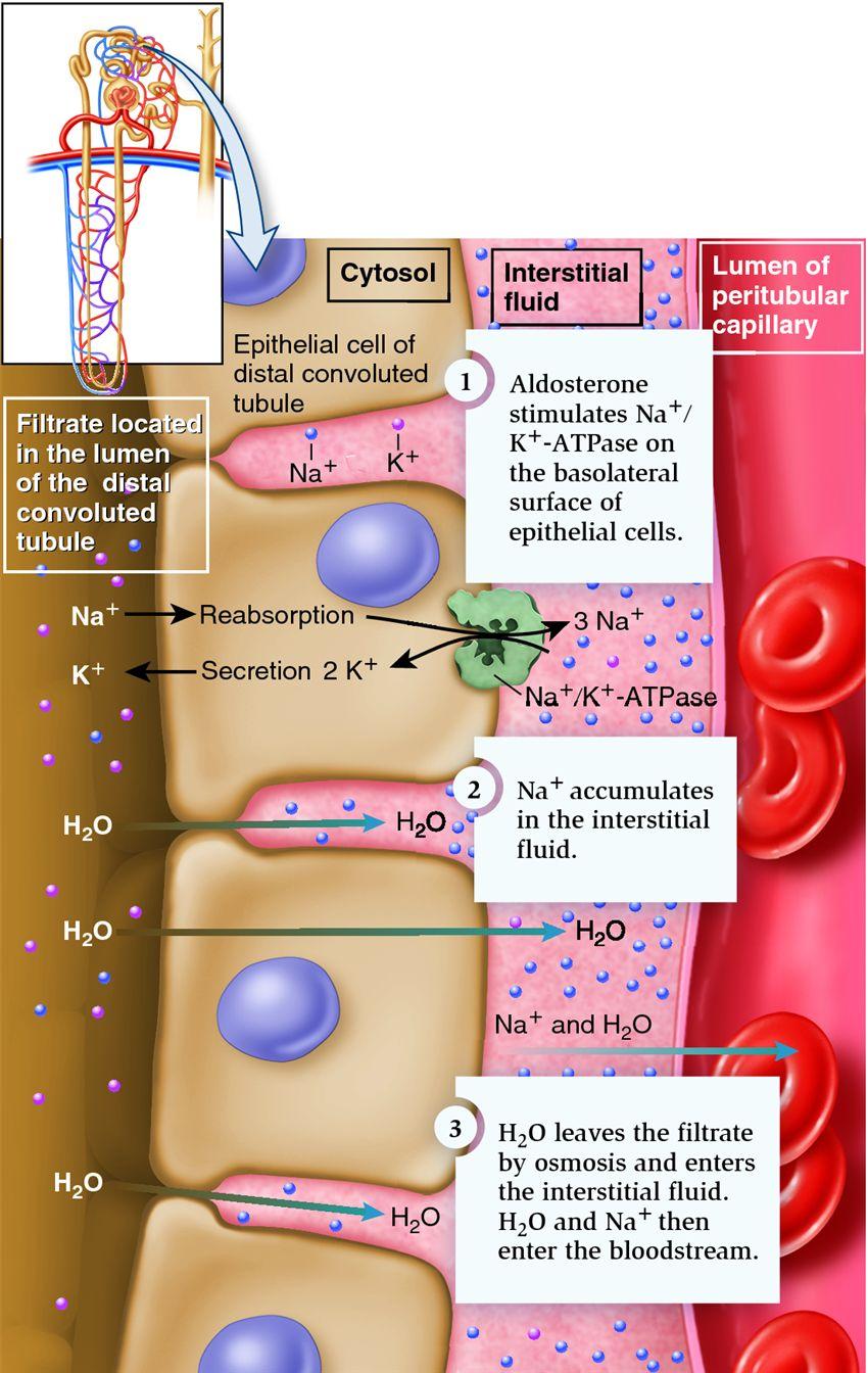 stimulates secretion of testosterone