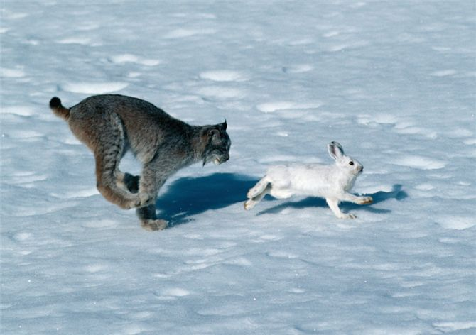 snowshoe hare and lynx relationship counseling