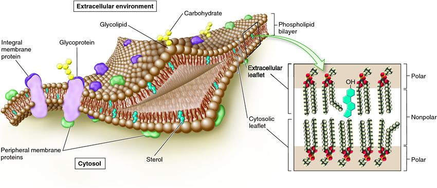 describe current model membrane structure and explain acco Membrane structure and function - 1 the cell membrane and interactions with the environment as mentioned earlier, the boundary between any cell and its environment is.