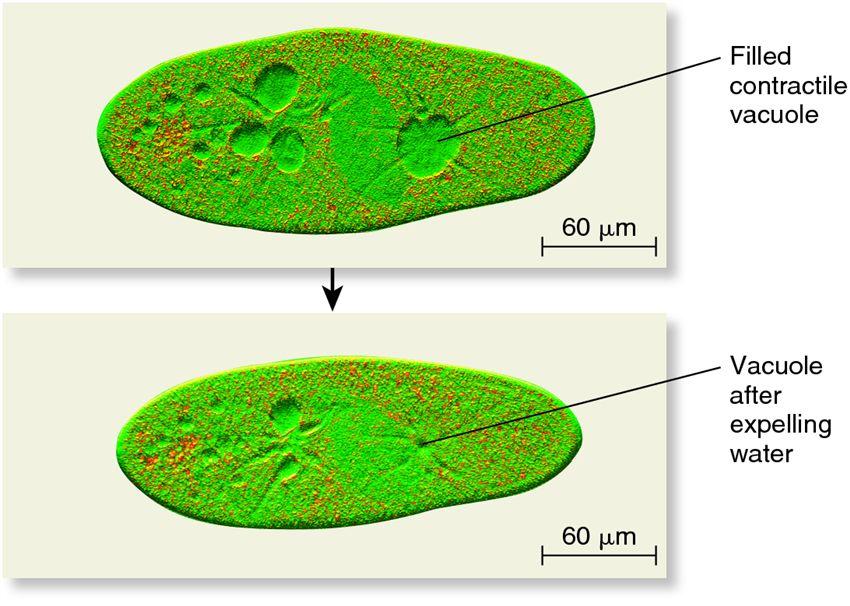 The contractile vacuole in Paramecium caudatum. - Biology ... Contractile Vacuole In A Cell