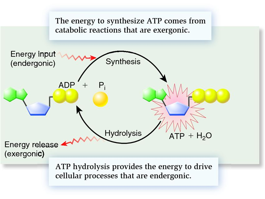 ap biology essay on atp Ap bio photosynthesis & respiration multiple choice identify the letter of the choice that best completes the statement or answers the question.