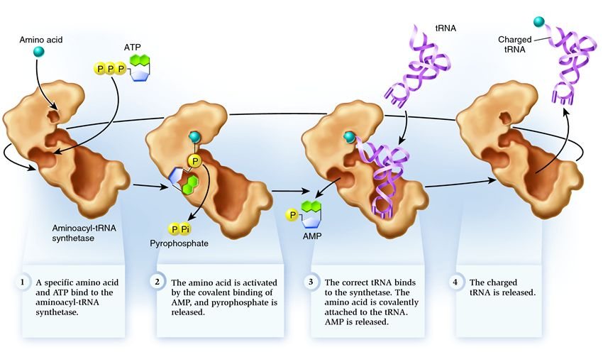 challenge of amino acid entering and epithelial cell until it has been loaded to trna The digestive system table of contents food has been broken down into particles small peptide fragments and amino acids cross the epithelial cell membranes.