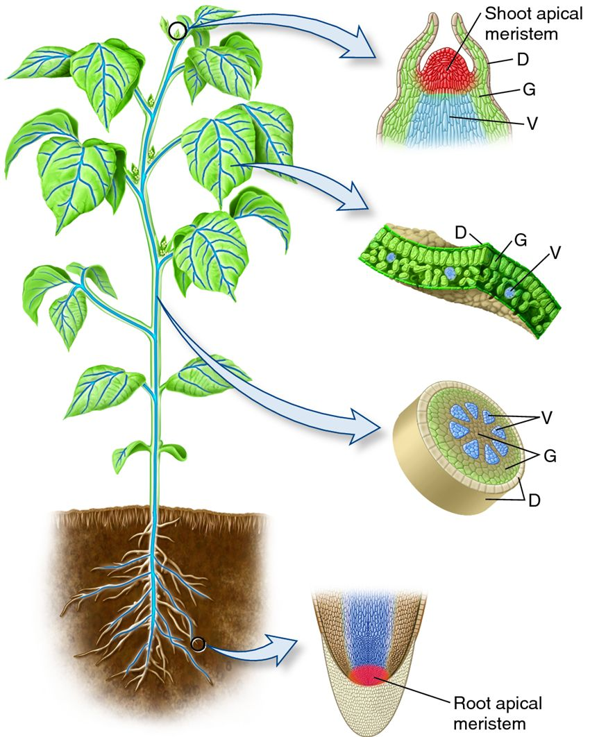 Plant apical meristems and the primary tissues they ...