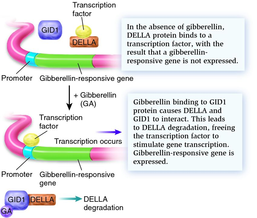 Gibberellin works by releasing trapped transcription factors ...