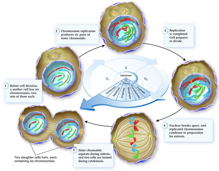 The eukaryotic cell cycle - Biology Forums Gallery