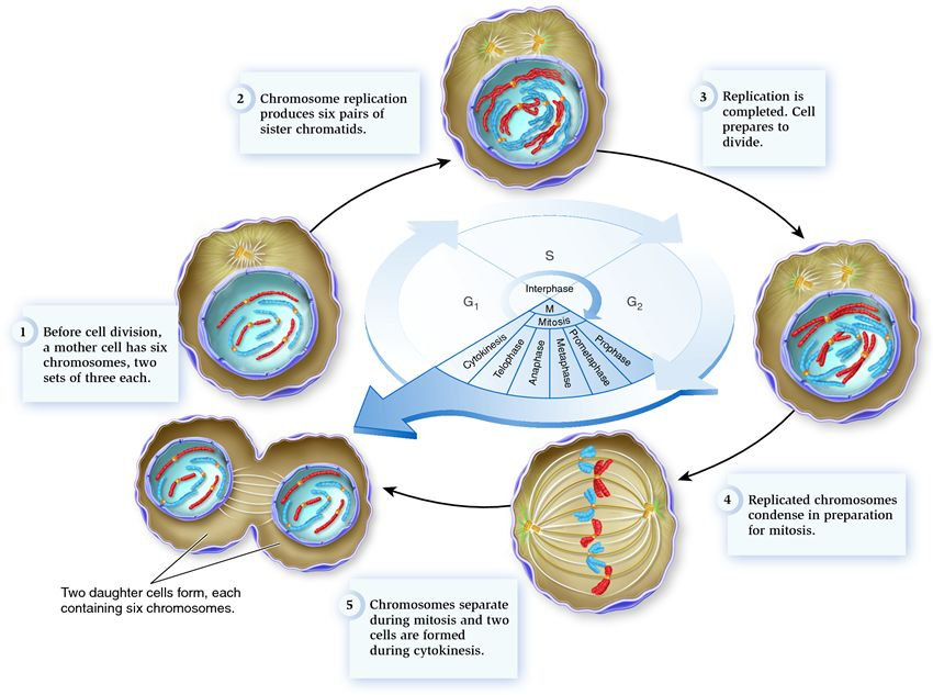 list of synonyms and antonyms of the word interphase g1 sg2 phase G2 Phase biology4ib 2 5 cell division