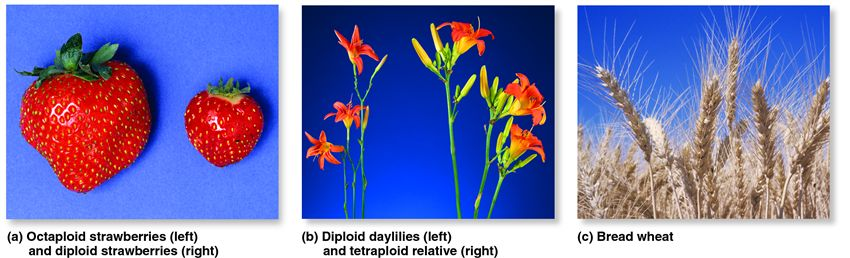 The study of polyploidy