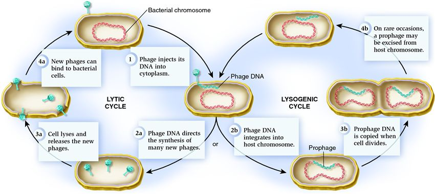 Compare and contrast the lytic and lysogenic life cycles of a ...