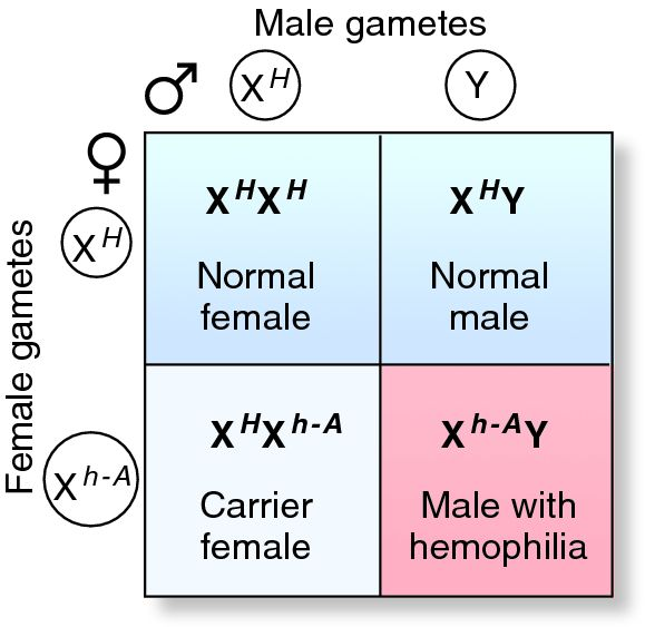 an analysis of the human chromosomes and the effort to find a hemophilia