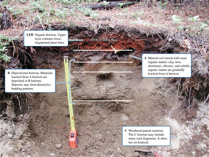 Soil profile exposed in a boreal forest site  showing LFH  A  B  and C    Forest Soil Profile