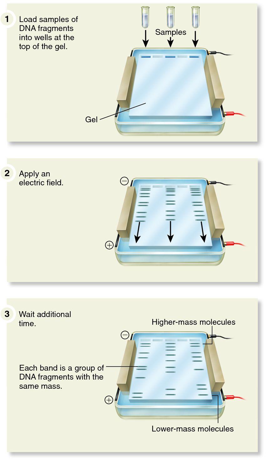 Agarose Gel Electrophoresis for the Separation of DNA Fragments