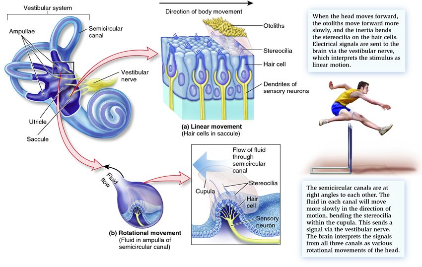 The gallery for --> Otolith Organs And Semicircular Canals
