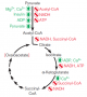 Major regulatory factors controlling pyruvate dehydrogenase and the citric acid cycle