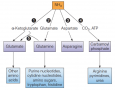 Reactions in assimilation of ammonia and major fates of the fixed nitrogen