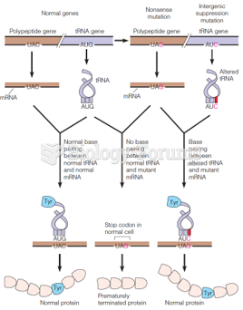 How an intergenic suppression mutation can overcome a nonsense mutation